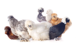Young Silkies and dutch bantam Royalty Free Stock Photography