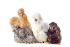 Young Silkies Royalty Free Stock Images
