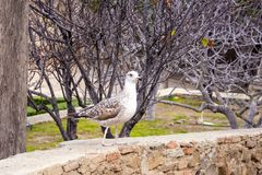 A young silver big gull, Larus argentatus, in a park in the fortress Gibralfaro in the Spanish city of Malaga, Spain. The bird is not afraid of people and royalty free stock photos