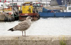 A young silver big gull, Larus argentatus. stock photo