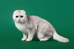 Young silver british kitten Royalty Free Stock Images