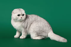 Young silver british kitten Royalty Free Stock Image