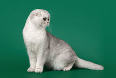 Young silver british kitten on dark green Stock Photography
