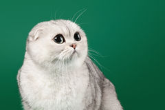 Young silver british kitten on dark green Stock Photos