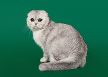Young silver british kitten on dark green Royalty Free Stock Image