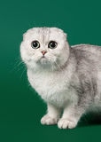 Young silver british kitten on dark green Royalty Free Stock Photography