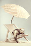 Young silver ferret portrait on beach chair in studio. Ferret portrait on beach chair in studio Royalty Free Stock Image