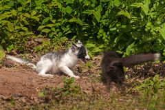 Young Silver Fox and Marble Fox (Vulpes vulpes) Play Royalty Free Stock Image
