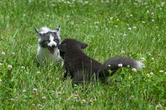 Young Silver Fox and Marble Fox (Vulpes vulpes) Play in Clover Stock Photos