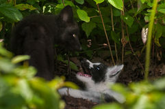 Young Silver Fox and Marble Fox (Vulpes vulpes) Play at Den Royalty Free Stock Images