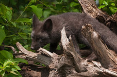 Young Silver Fox (Vulpes vulpes) Chews on Root Bundle Stock Photo
