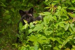 Young Silver Fox (Vulpes vulpes) Hides Behind Bush Royalty Free Stock Photo