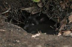 Young Silver Fox (Vulpes vulpes) Hides in Den Royalty Free Stock Photos