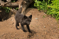 Young Silver Fox (Vulpes vulpes) Stands Outside Den Royalty Free Stock Image