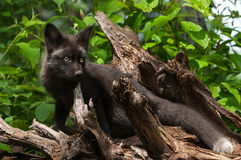 Young Silver Fox (Vulpes vulpes) Stands on Root Bundle Stock Images