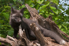 Young Silver Fox (Vulpes vulpes) Stands on Roots with One Ear Ba Royalty Free Stock Photo