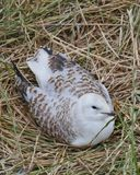 A young Silver gull Royalty Free Stock Photo