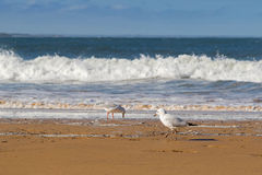 Young Silver Gull seabird walking along the beach in the afterno Royalty Free Stock Image