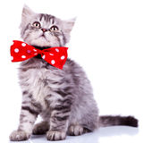 Young silver tabby cat looking up Royalty Free Stock Photos