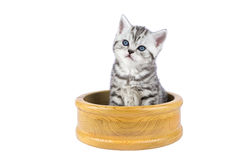 Young silver tabby cat sitting in wooden bowl Royalty Free Stock Images