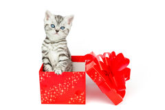 Young silver tabby cat standing in red box with stars Royalty Free Stock Image