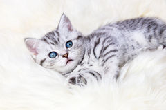 Young silver tabby spotted cat lying on sheep skin Royalty Free Stock Photography