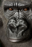 Young Silverback Gorilla Stock Image