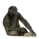 Young Silverback Gorilla. In front of a white background royalty free stock images