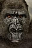 Young Silverback Gorilla Royalty Free Stock Photos