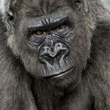 Young Silverback Gorilla Stock Photography