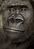 Young Silverback Gorilla Royalty Free Stock Image
