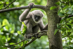 Young silvery gibbon. (Hylobates moloch). The silvery gibbon ranks among the most threatened species Royalty Free Stock Image