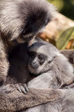 Young Silvery Moloch Gibbon with Mother Royalty Free Stock Photography