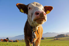 Young Simmental beef Royalty Free Stock Photo
