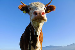 Young Simmental cattle with horns and bell Royalty Free Stock Photo