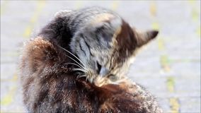 Young single tabby cat cleaning the fur stock video