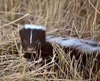 Young skunk Stock Photo