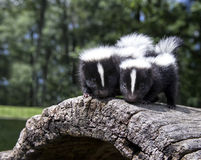 Young skunk pair. Pair of baby skunks, standing side by side on a fallen log Stock Photos
