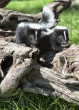 Young skunk pair Royalty Free Stock Images