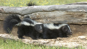 Young skunks. Two baby skunks in hollow log Royalty Free Stock Photos