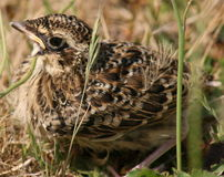 Young skylark hiding Stock Images