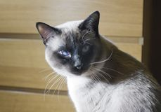 Young sleek haired cat, Siam oriental group.  royalty free stock image
