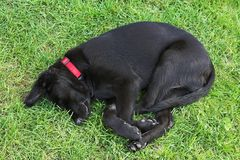 Young sleeping dog Royalty Free Stock Photography