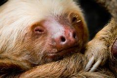 Young sleeping sloth, high detail Stock Photos