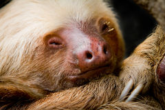Young sleeping sloth, high detail. A young awake two-toed sloth, Ecuador South America, focus on eye Stock Images