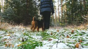Young woman walks in the forest with a Airedale Terrier dog. Young slim woman walks in the forest with a Airedale Terrier dog. The first snow in the autumn stock footage