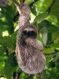 Young sloth. Young Brown-Throated Three-Toed sloth hanging from a branch Stock Image