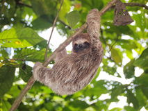 Young sloth climbing on a branch in the jungle Royalty Free Stock Photos