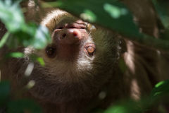 Young Sloth in Costa Rica Stock Image