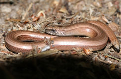 A Slow-worm Anguis fragilis curled up in the undergrowth warming up. A young Slow-worm Anguis fragilis curled up in the undergrowth warming up royalty free stock photography